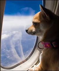 small dog on airplane